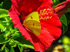 Sulfur Butterfly on a Hibiscus
