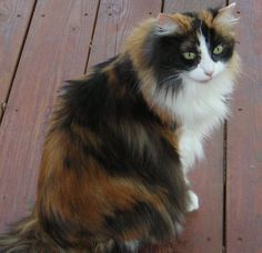 Long haired Calico kitty
