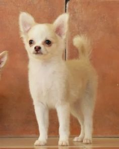 Chihuahua dog art portraits, photographs, information and just plain fun. Also see how artist Kline draws his dog art from only words at drawDOGS.com #drawDOGS http://drawdogs.com/product/dog-art/chihuahua-dog-portrait-by-stephen-kline/