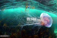 Beautifull jellyfish under the surface in Brittany. © Gaël Modrak / age fotostock - Stock Photos, Videos and Vectors