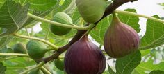 Get a new fig tree from an old one with these easy steps, and some patience.