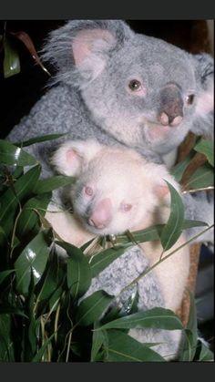 Baby Koala, Baby Otters, Baby Baby, Amazing Animals, Animals Beautiful, Rare Albino Animals, Australian Animals, Animal Drawings, Animal Photography