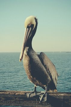 I love pelicans. When I'd go south, they used to let me come over and take pictures with them! :)