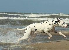 #dalmatian   #dalmata   #dalmatians    #dalmatiansofinstagram   #igdogs    #dalmatians_of_instagram   #dogs   #dogstagram   #petstagram   #doggy   #myfriend   #mydog   #action   #fun   #mydogiscutest   #actionshot   #waterdog   #beachlover   #beach   #beachdog   #beachlife   #happydog   #runner   #dogscorner   #dogoftheday   #picoftheday   #dogphotography   #doglovers   #dog_features   #dalmatian_feature