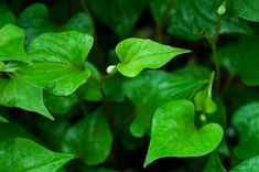 FLAVOURFUL BENEFITS OF HOUTTUYNIA CORDATA