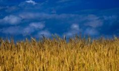 kansas wheat fields - not only have I been there... I live there!  There's no place like home...