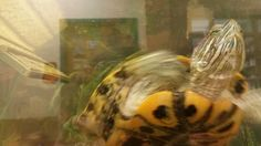 Have you met this blurry turtle?  He's a red-eared slider called Gilligan, to be exact, and he's our newest resident at the Core Office.  Interested in meeting this terrapin?  Visit CAS 119 and come say hi!