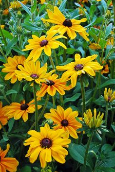 Black Eyed Susan create showy color in the late summer and early fall. Mix them with Asters, Sedums and Grasses.