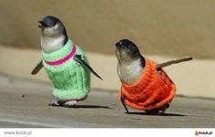 Pinguini con i maglioni in Nuova Zelanda