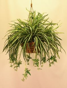 SPIDER PLANT  |  LIGHT: natural light, but not direct sunlight  |  WATER: Light watering. Allow soil to dry between waterings. Black tips or white halo development usually signifies overwatering.