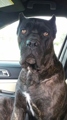 From 'About Time Cane Corso'