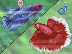 How to Determine the Sex of a Betta Fish. Betta fish are widely known as fighting fish. Frequently sold in individual containers, you might believe all Betta fish have the same general appearance and demeanor. Regardless of what you see at. Betta Aquarium, Betta Fish Toys, Colorful Fish, Tropical Fish, Beta Fish Care, Oscar Fish, Siamese Fighting Fish, Fish Patterns, Beautiful Fish