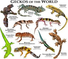 Geckos of the World by rogerdhall on DeviantArt