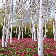 White Birch is often planted as a garden and ornamental tree, grown for its white bark and gracefully drooping branches. It is a medium-sized deciduous tree, typically reaching 15–25m tall with a slen