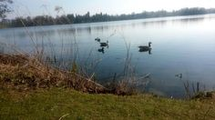 Ducks and geese at the mere in Ellesmere Shropshire