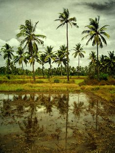 'The Indian Ocean lay sparkling in the sunset beyond the fields of paddy.' #novelines #Goa