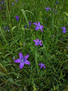 Campanula patula - Spreading Bellflower https://flic.kr/p/HrvVvM | Spreading Bellflower (Wiesen-Glockenblume, Campanula…