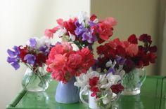 Sweet peas in assorted vases.