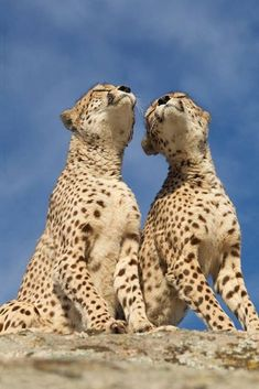 Cheetahs, the only large cats that purr. Animals And Pets, Baby Animals, Funny Animals, Cute Animals, Beautiful Cats, Animals Beautiful, Big Cats, Cats And Kittens, Cats Meowing