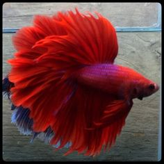 Take a look at this beautiful betta fish tips for an innovative approach altogether. Pretty Fish, Beautiful Fish, Animals Beautiful, Cute Animals, Betta Fish Types, Betta Fish Tank, Beta Fish, Freshwater Aquarium Fish, Aquarium Fish Tank