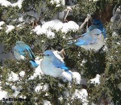 Because the bluebird is beautiful and readily accepts the help of humans, and, because people love to nurture beautiful animals, especially those that are endearing, a strong natural bond is forged between man and the bluebird at the nest box. In many cases, that relationship not only lasts a lifetime but also grows into a greater awareness of the plight of all wild animals and the plant kingdom on which all animals depend. (Quote by - Gary Springer)