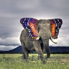 This funny looking image is of an elephant with butterfly ears. It's cute, but the photoshopping job is somewhat lazily done, thus it comes off as eye-jarring. I also wish the creator chose a butterfly (or moth) closer to the elephant's actual color, so the notion would look more naturalistic.