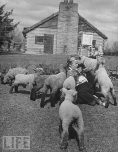 A little girl gets swamped by hungry lambs while holding a bottle on a farm, spring 1946