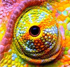 the bright rainbow eye of this reptile is so cool as it makes it stand out from anyother close up