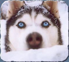 I love a Siberian Husky