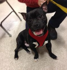 Meet Fred, a Petfinder adoptable Border Terrier Dog | Jersey City, NJ | Fred is an awesome and playful 1 1/2 years old Boston Terrier/Pitbull/Chihuahua mix. He's gets...