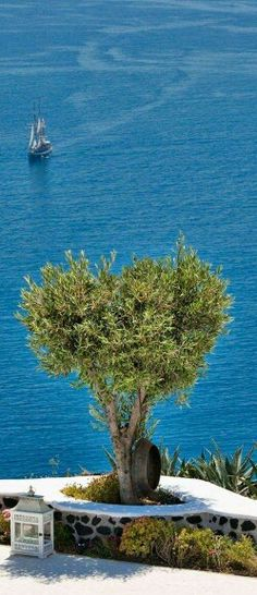 Olive tree in Santorini island, Greece.oiamansion in Santorini. Cruise Greek Islands, Greek Cruise, Santorini Island, Santorini Greece, Mykonos, Beautiful Islands, Beautiful World, Beautiful Places, Places To Travel