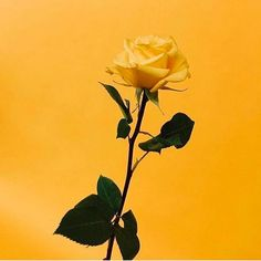 48 new ideas for mustard yellow aesthetic wallpaper Yellow Rose Flower, Yellow Roses, Aesthetic Iphone Wallpaper, Aesthetic Wallpapers, Mellow Yellow, Mustard Yellow, Flower Wallpaper, Wallpaper Backgrounds, Soft Grunge