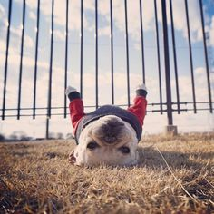 """61 Likes, 7 Comments - All The Frenchies (@allthefrenchies) on Instagram: """"Just hangin' #Repost @doughboyyy2013 ・・・"""""""
