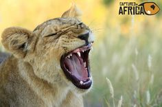 Wild Lion Cub of Selinda, Botswana by Captured In Africa on 500px