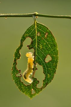 "Minghui Yuan     Caterpillar's Ideal    Wuhan City, China   ""In the late autumn sun, after the sawfly larvae finish sloughing their skin they stay quietly in the holes of the leaves. They must grow before winter comes up again, and finish their life transformation as soon as possible. From endings come new beginnings."""