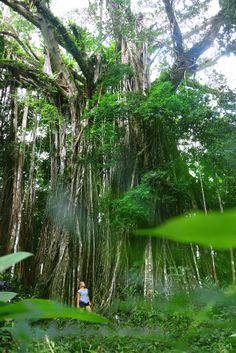 Rainforest of Efate, Vanuatu South Pacific, Pacific Ocean, Unique Trees, Island Nations, Vanuatu, White Sand Beach, Forests, Continents, Cruise