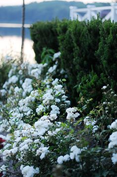 Rosa polyantha 'Katharina Zeimet' är en tätväxande ros med hundratals vita små rosor. Blommar hela sommaren långt in på hösten.