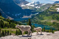 americasgreatoutdoors:  Have you heard? Its National Park Week! With over 400 amazing places to visit youre sure to discover incredible views fascinating history and outstanding recreational opportunities. Another great reason to visit national parks is to observe wildlife. So take the kids and see if you can enjoy the parks as much as these mountain goats at Glacier National Park in Montana. Photo by Rick Sheremeta (http://bit.ly/2pptVHg).