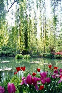 Tulips and willow trees