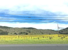 The mustard flowers and vines in Napa valley California land of tons of wine selections