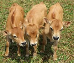 "mini cows -- ""The Jersey has been, and still is, one of the most desirable breeds chosen for a family milk cow. Of all the milking breeds, milking Jersey cows are still the highest in butterfat production and in total solids. This makes them perfect for those who enjoy making cheese, yogurt, butter, and other dairy delicacies. """