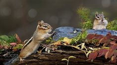 Chipmunks by ikord #animals #animal #pet #pets #animales #animallovers #photooftheday #amazing #picoftheday