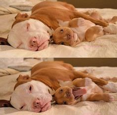 Uplifting So You Want A American Pit Bull Terrier Ideas. Fabulous So You Want A American Pit Bull Terrier Ideas. Little Puppies, Cute Puppies, Cute Dogs, Dogs And Puppies, Doggies, Funny Dogs, Animals And Pets, Baby Animals, Funny Animals