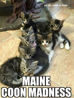 Maine coons on pinterest maine coon maine coon cats and maine coon