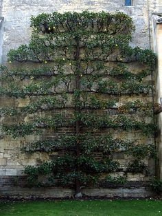 Espalier trees and vines are trained to grow flat against a wall or trellis, an aspect of many formal gardens. Espalier Fruit Trees, Trees And Shrubs, Vegetable Garden, Garden Plants, Vertikal Garden, Palmiers, Formal Gardens, Plantation, Edible Garden