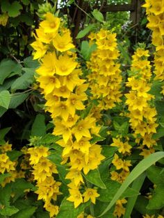 I'm actually no fan of yellow flowers, but I need some as they compliment the blue and purple plants very nicely. This I got from a friend, gets quite tall and tolerates all kinds of soil it seems. LYSIMACHIA PUNCTATA