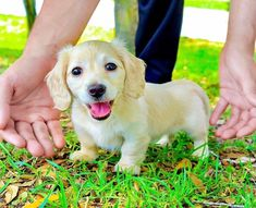 Daschund Puppies For Sale, Dachshund Breeders, Dapple Dachshund Puppy, Mini Dachshund, Dachshunds, Animals And Pets, Labrador Retriever, Dogs, Club