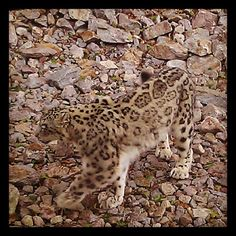 Snow leopard - the real one - from the Instacanvas gallery for theinfredible.