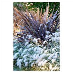 Pennisetum villosum and Phormium tenax Purpureum
