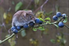 Berry nice: A bank vole pictured by Phil Winter of Ringmer, East Sussex